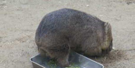 知ってた? 五月山動物園のかわいいウォンバットたちをライブで見ることができる『ウォンバットてれび』