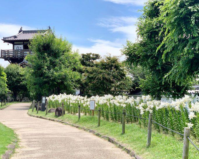 梅雨の晴れ間に、初夏の香り 白ユリが満開の池田城跡公園