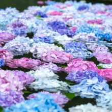 """関西花の寺霊場第12番 久安寺で色とりどりのあじさいが浮かべられた""""あじさいうかべ""""を取材してきました"""