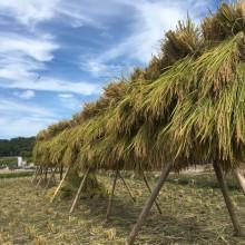 池田の田んぼで、無農薬で育てたお米。子どもたちと稲刈りをしてきました♪