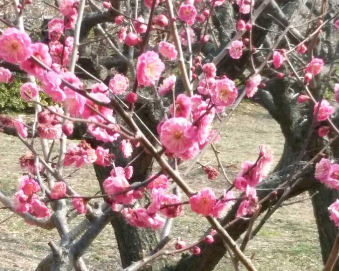 水月公園の梅の花。寒い中、可愛らしい花を力強く咲かせていました。