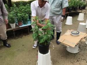 しぶたに学園 渋谷中学校「菊サークル活動」