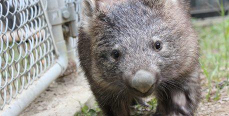 五月山動物園の人気者ウォンバットの「マル」が永眠