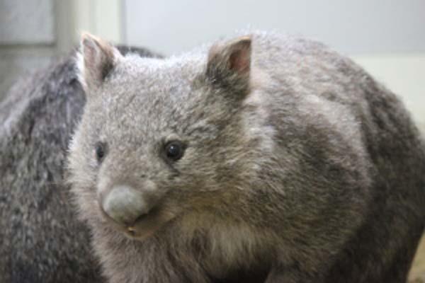 【愛称募集】池田市が五月山動物園に新たに仲間入りした3頭のウォンバットの愛称を募集しています。