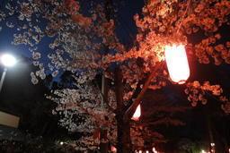 五月山の夜桜照明を見に行こう!