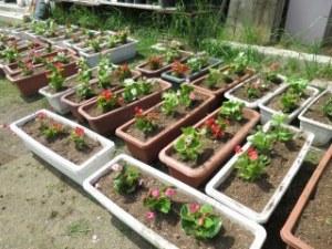 しぶたに学園 渋谷中学校『花いっぱいプロジェクト』