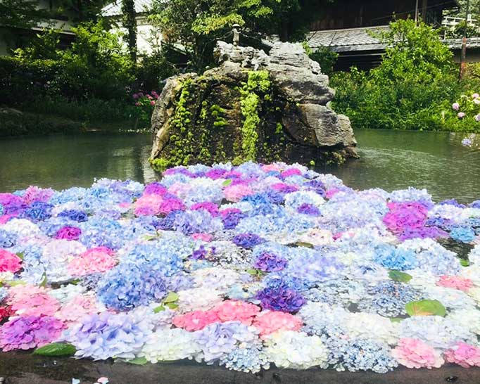 久安寺の池の水面に浮かぶ色とりどりのアジサイ