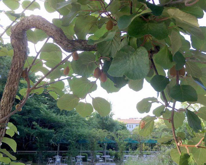 緑のセンターで早朝散歩。キウイの木を発見!