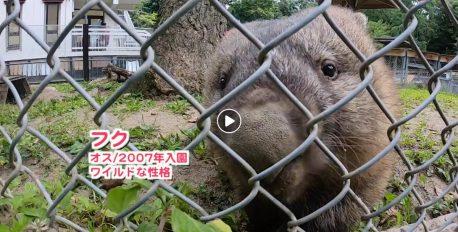 五月山動物園の飼育員さん目線動画「ウォンバット飼育日記」