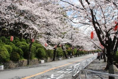 【中止】夜桜で想いを伝えませんか? メッセージ入り提灯『ついーと提灯』募集